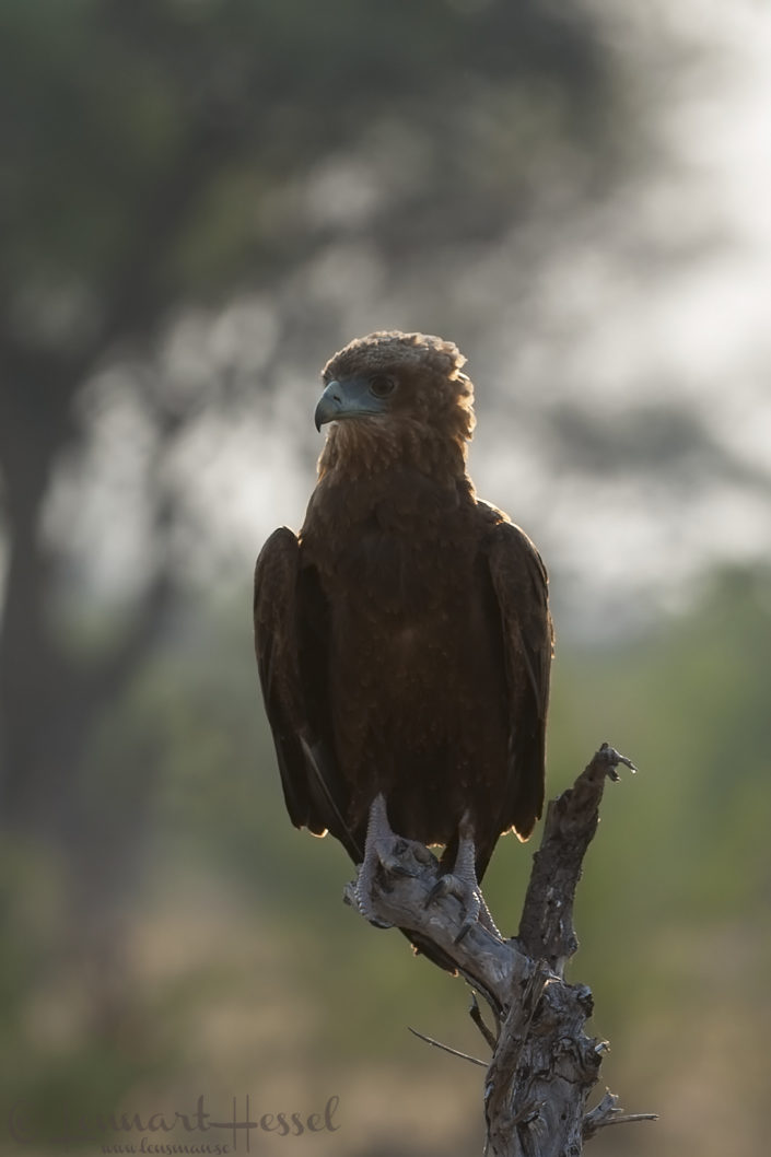 Wahlbergs Eagle in Khwai Community Area, Botswana