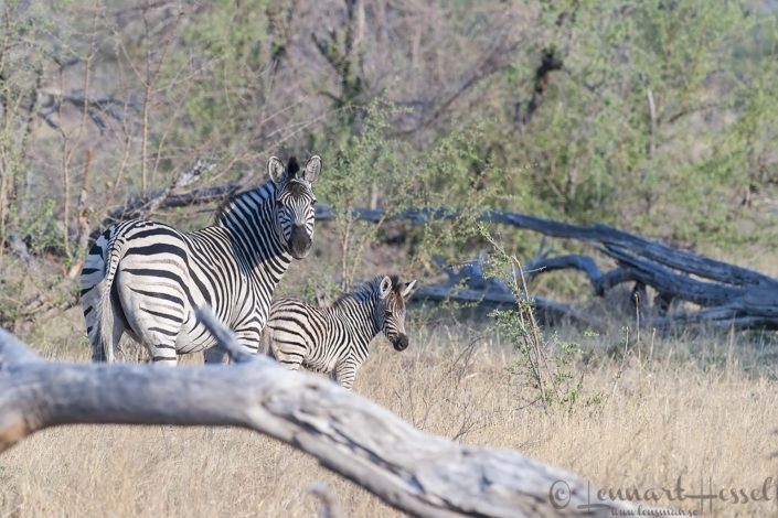 Zebra with foal in Khwai Community Area, Botswana