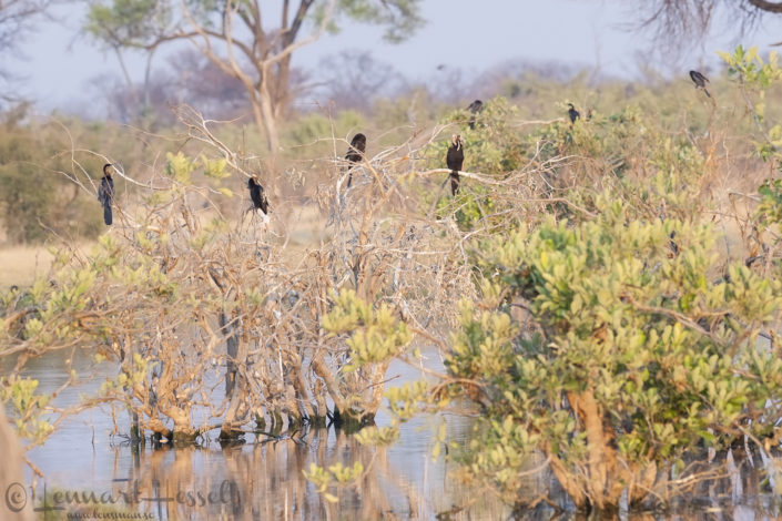 African Darters in Khwai Community Area, Botswana