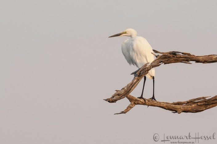 Great Egret in Khwai Community Area, Botswana