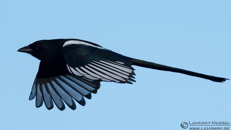 Common Magpie at Brudarebacken, brudarebacken