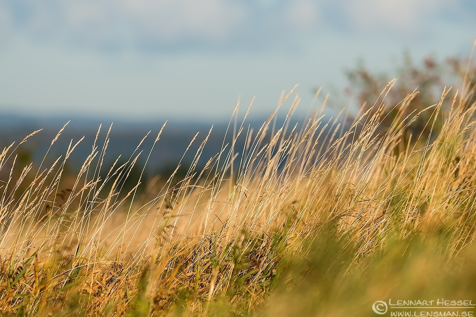Grass in the wind at Brudarebacken