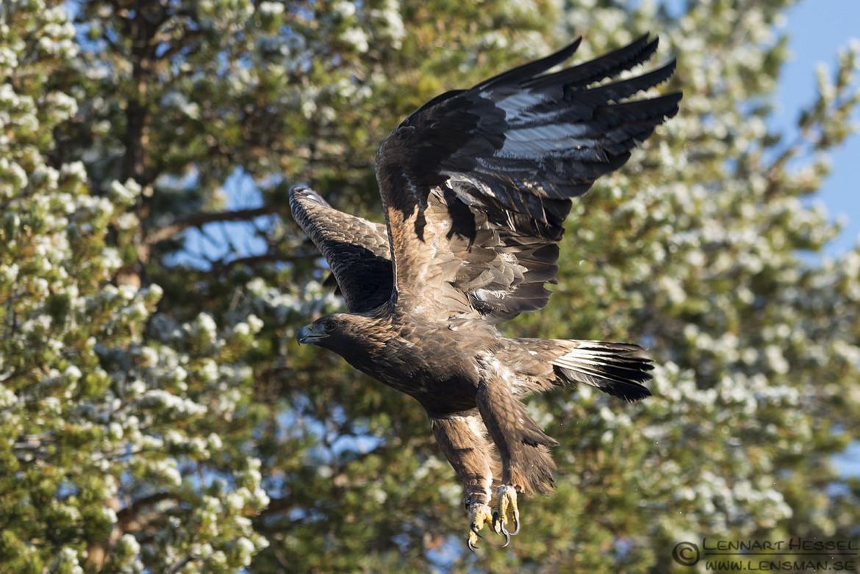 Male Golden Eagle in Kalvträsk