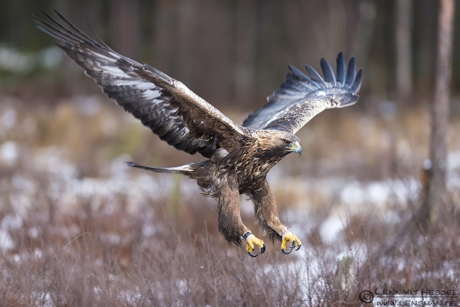 Male Golden Eagle in Kalvträsk getting ready to strike. wild bird winter