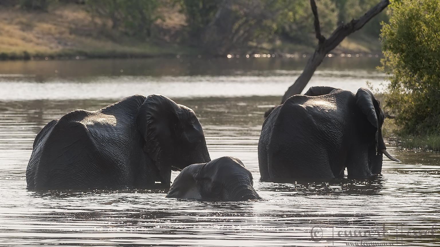Elephants taking a bath in Savuti, Botswana