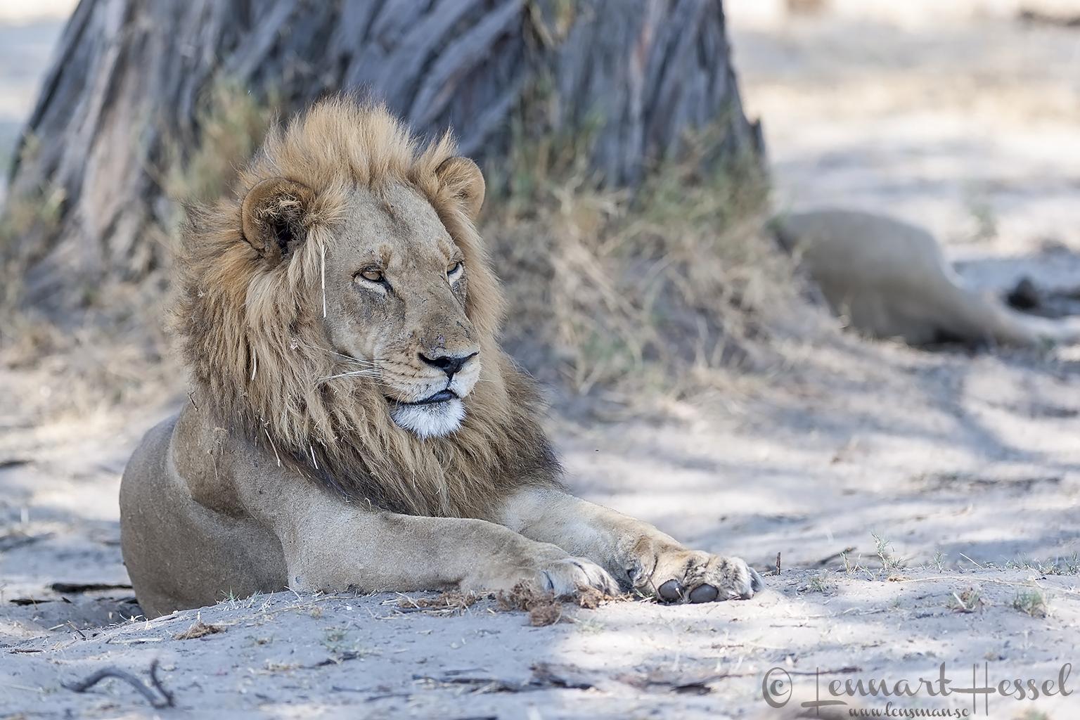 Lion sphinx in Savuti, Botswana