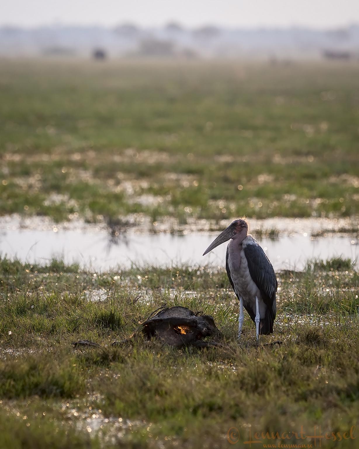 Marabou Stork in Savuti, Botswana