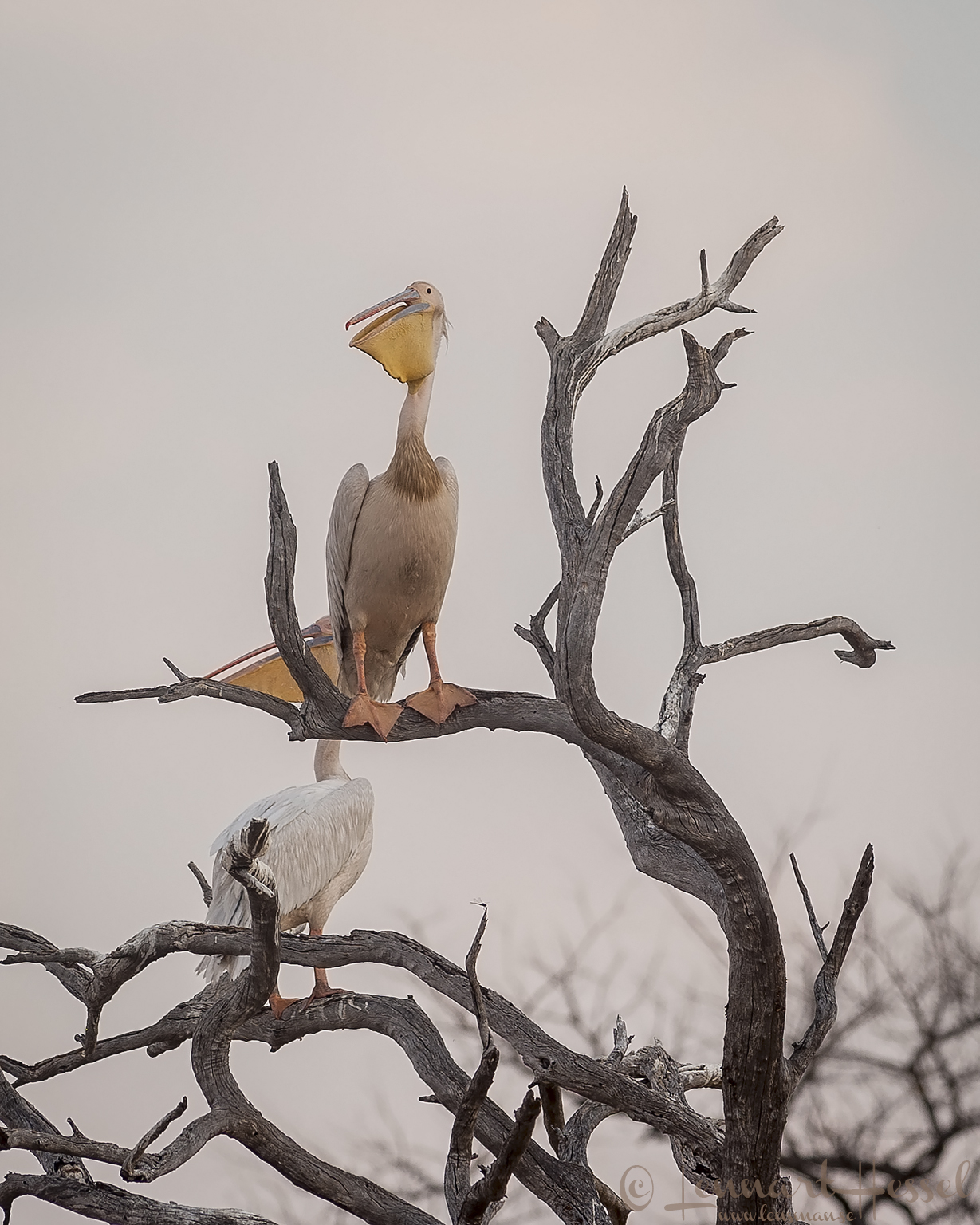 Pelicans in a tree in Savuti, Botswana