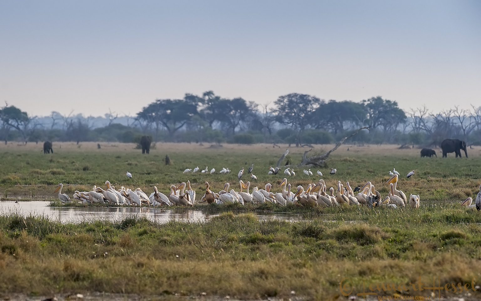 Pelicans in Savuti, Botswana