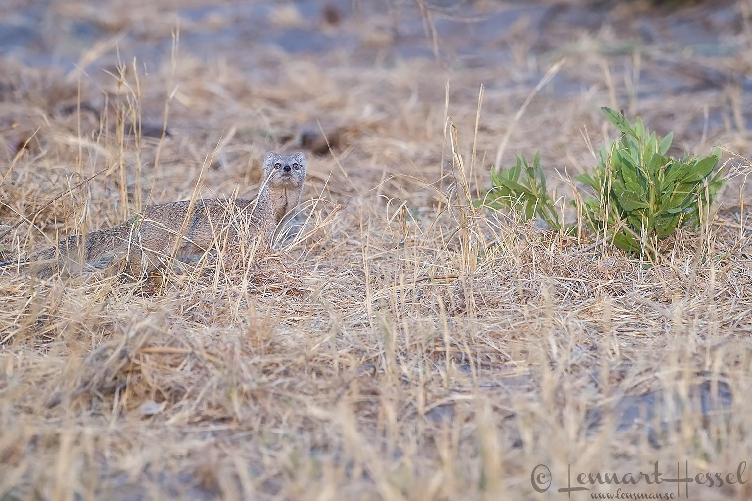 Yellow Mongoose in Savuti, Botswana