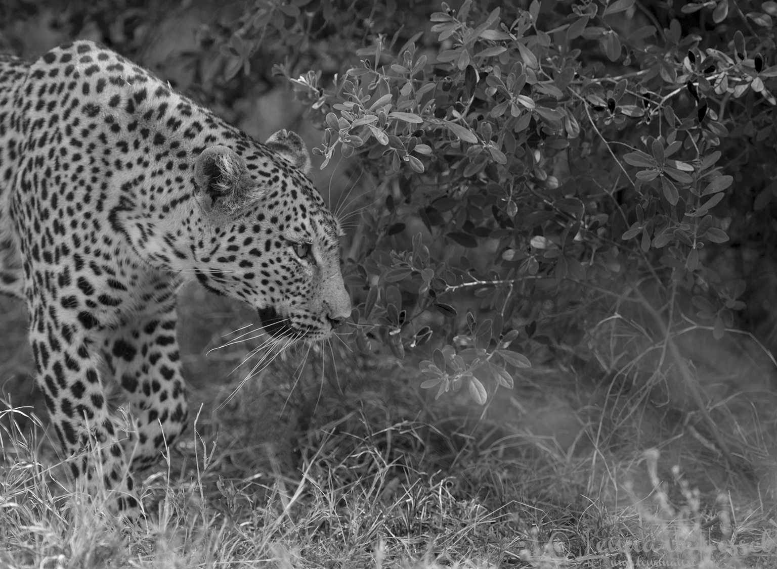 Leopardess stealth mode in Savuti, Botswana