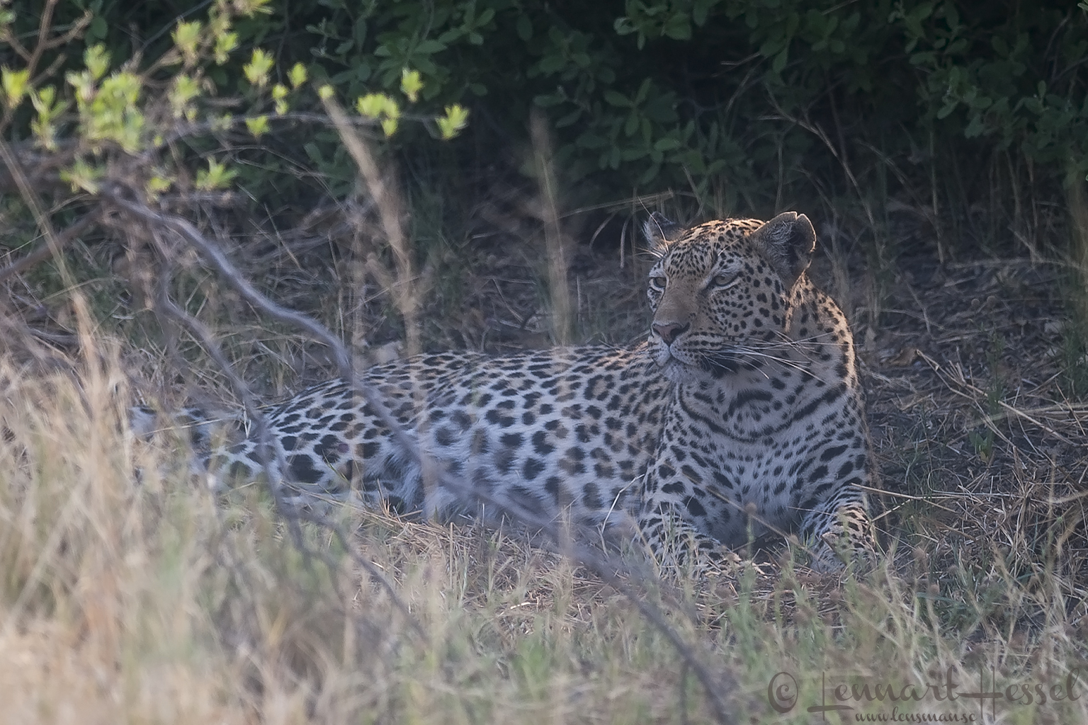 Leopardess in Savuti, Botswana
