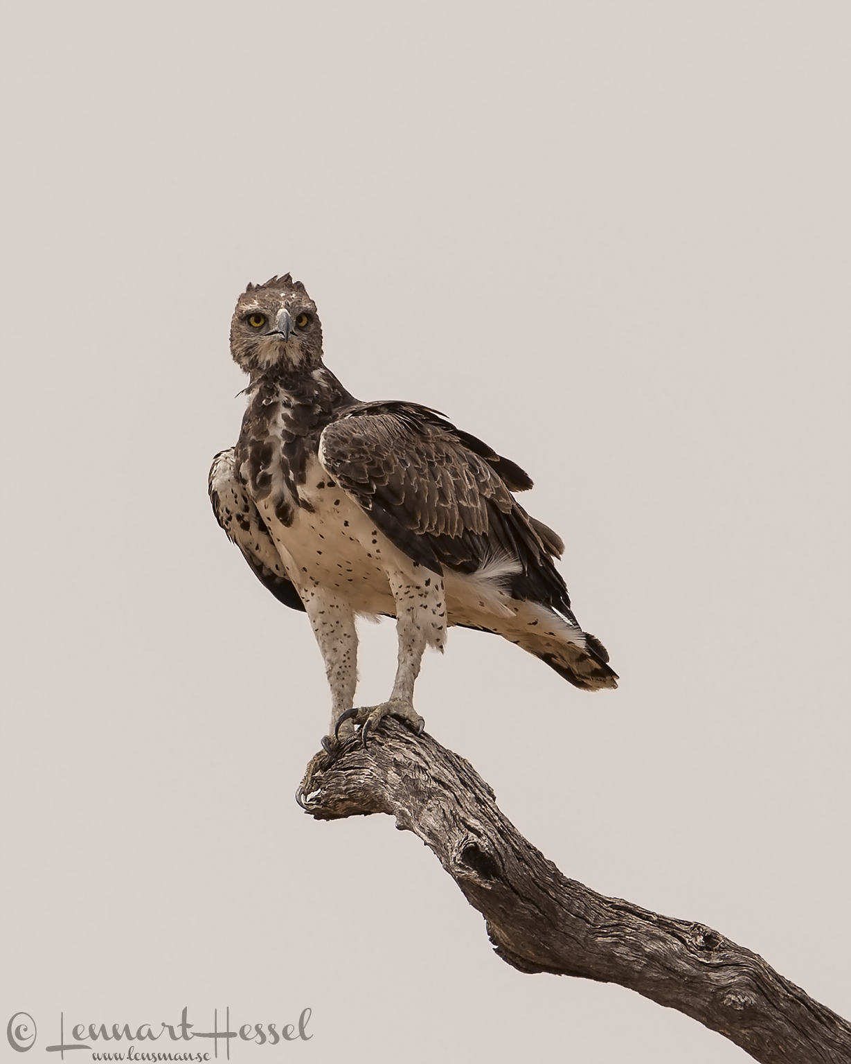 Martial Eagle in Savuti, Botswana