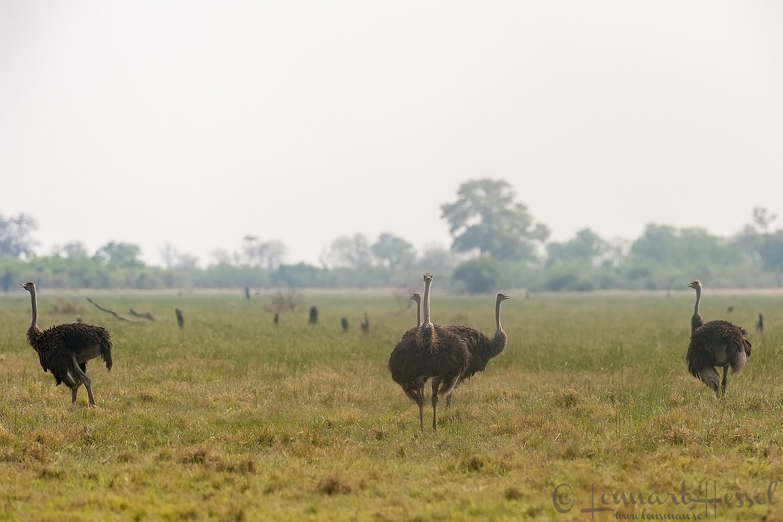 Ostriches in Savuti, Botswana