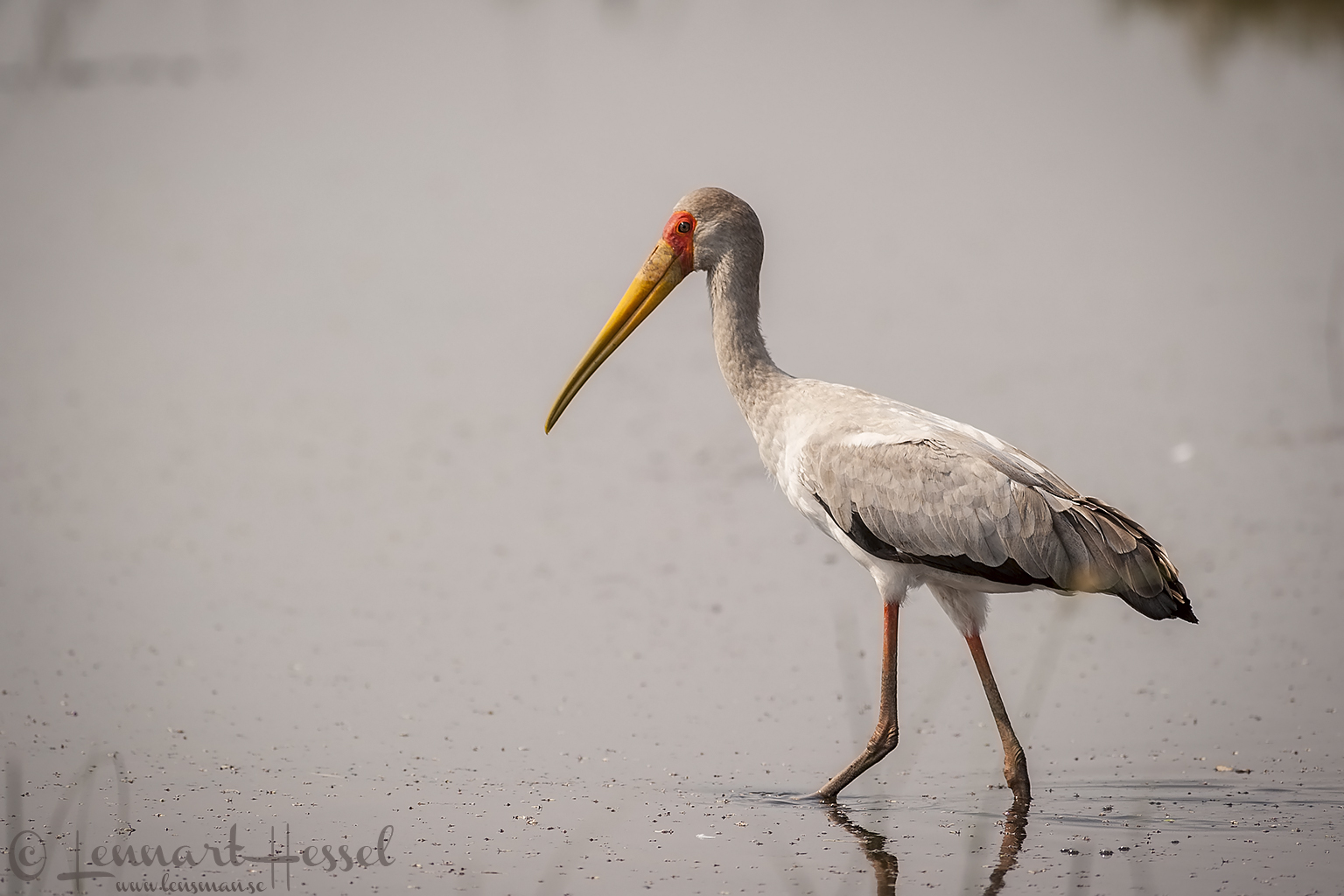 Yellow-billed Stork in Savuti, Botswana