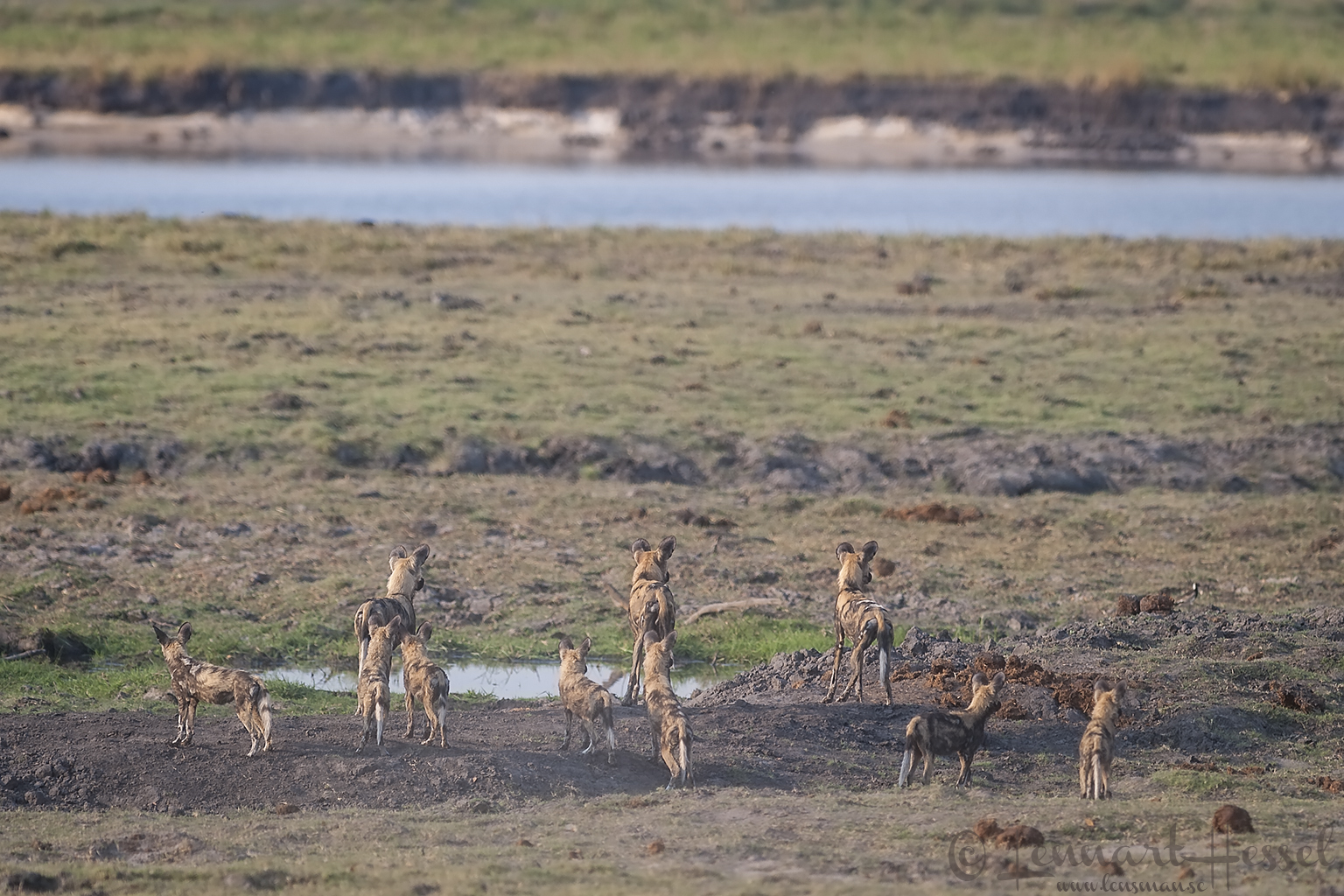 African Wild Dog pack in the flood plain at Chobe River front, Botswana