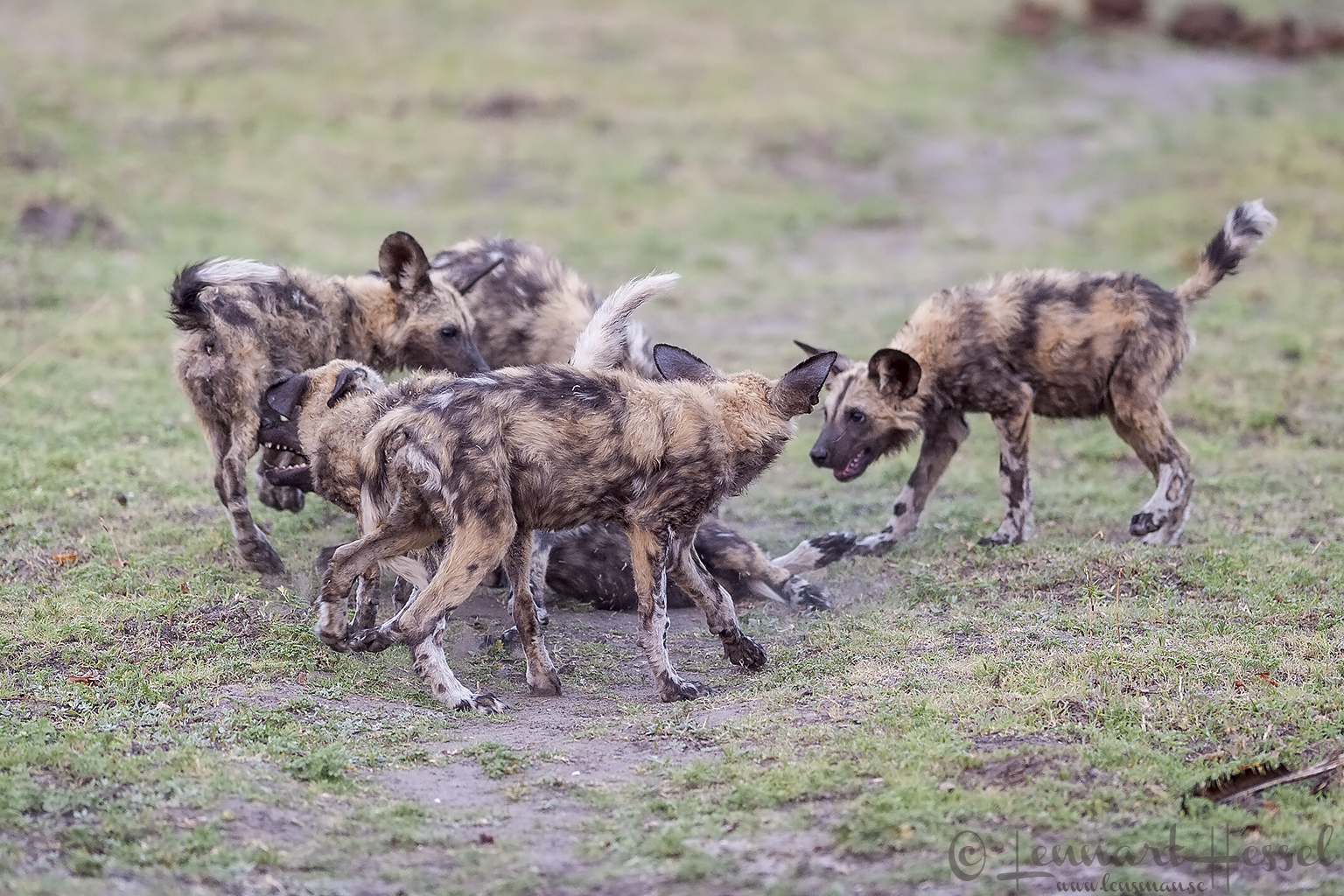 African Wild Dogs playing at Chobe River front, Botswana