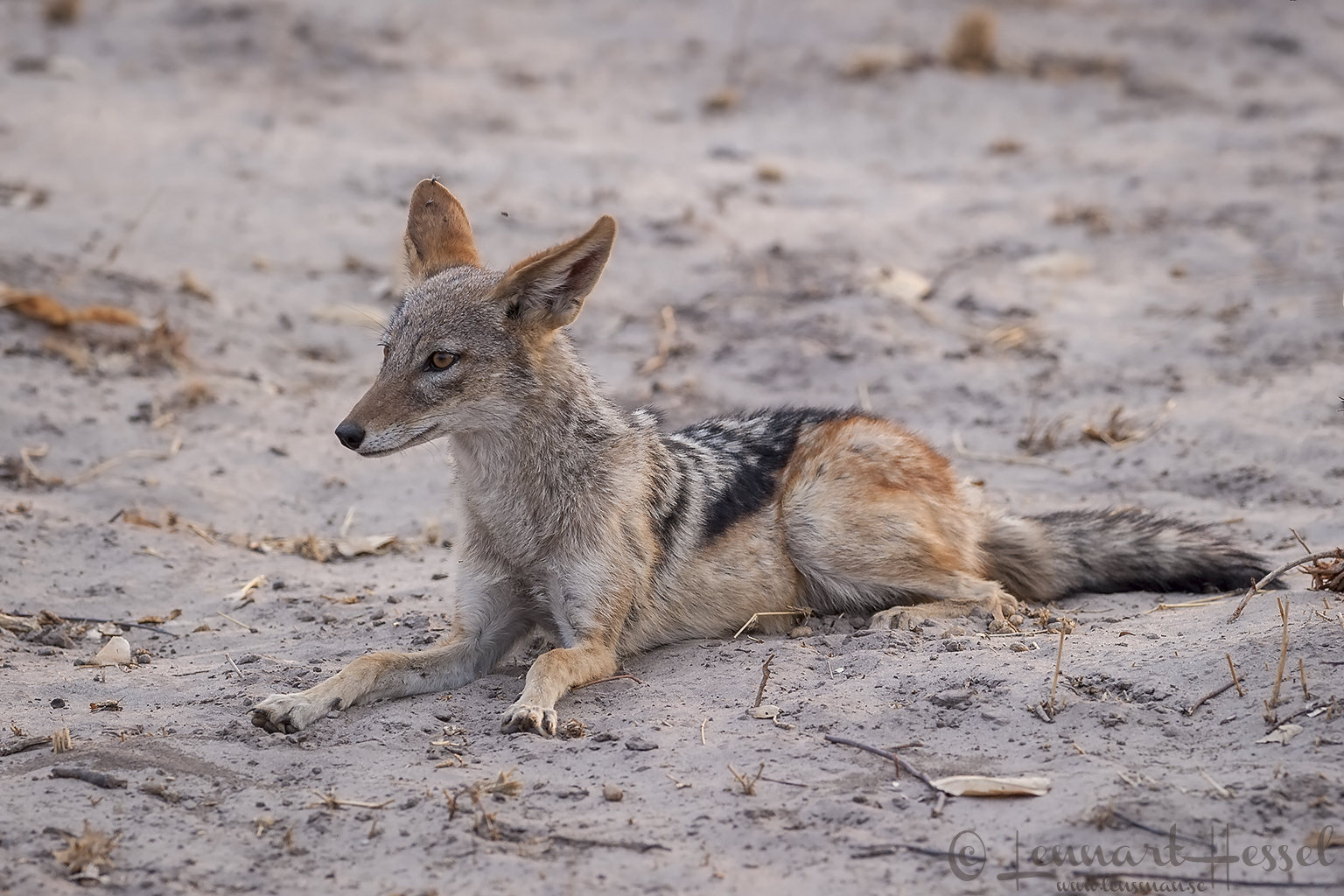Black-backed Jackal in Savuti, Botswana