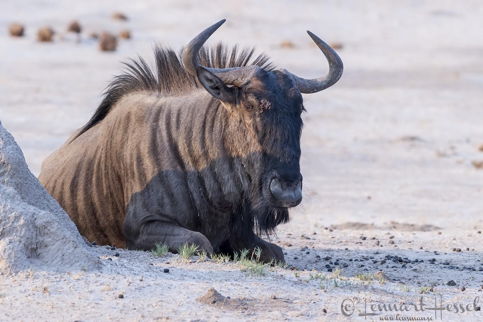 Blue Wildebeest in Savuti, Botswana