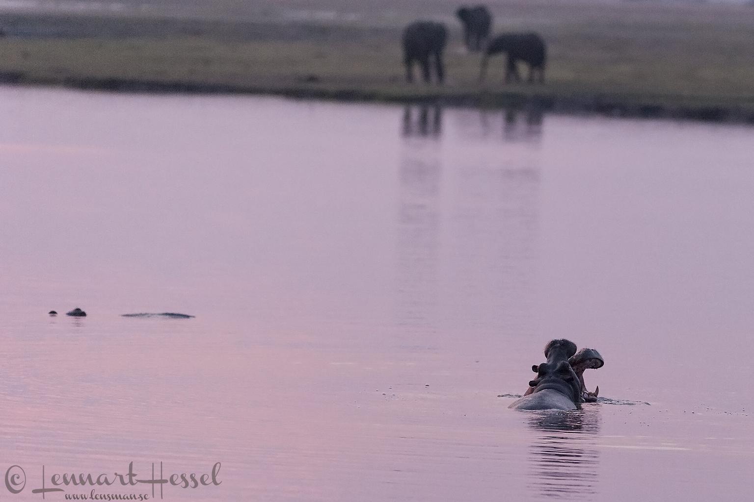 Hippo fight in Chobe river