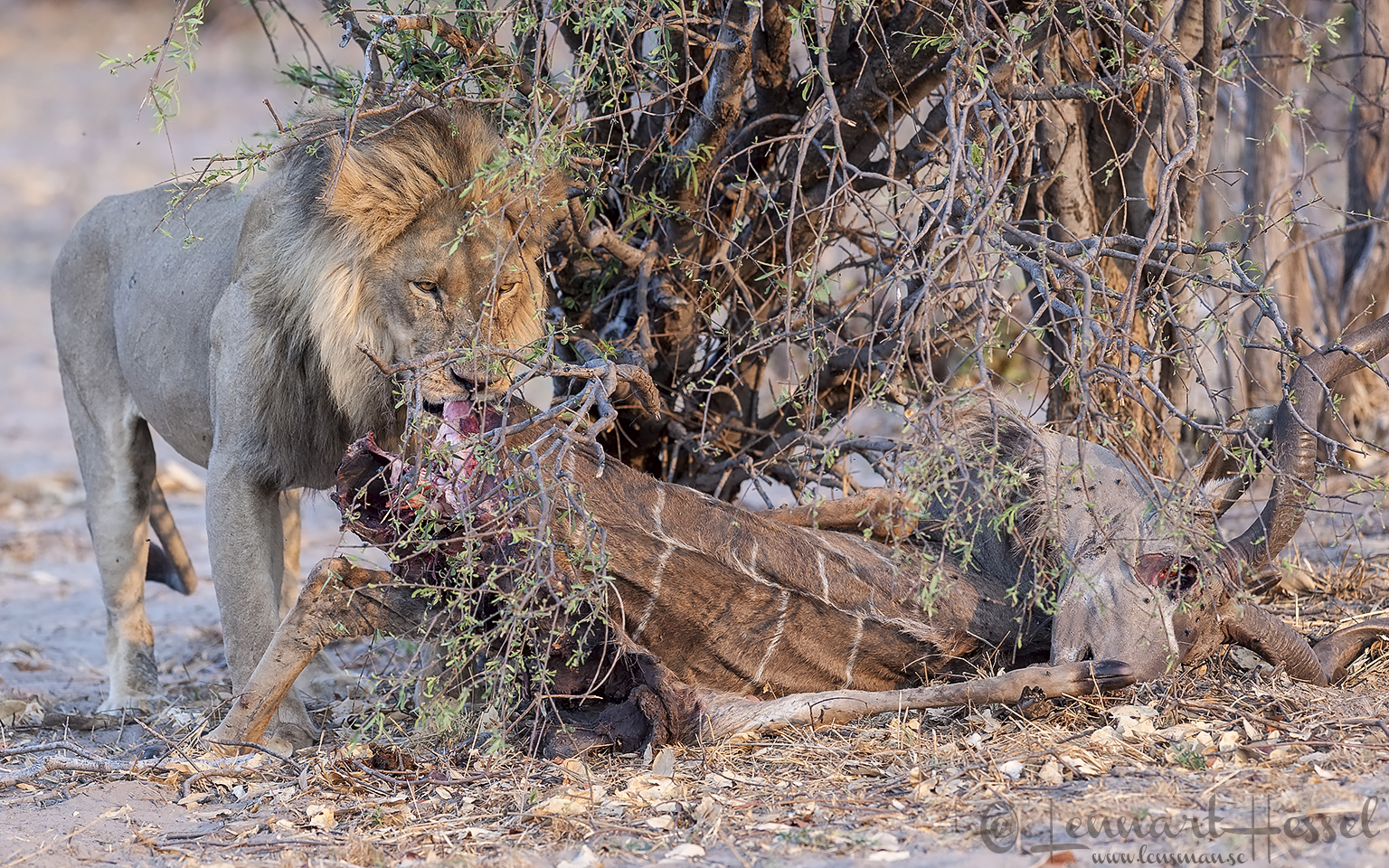 Lion with Kudu kill in Savuti, Botswana