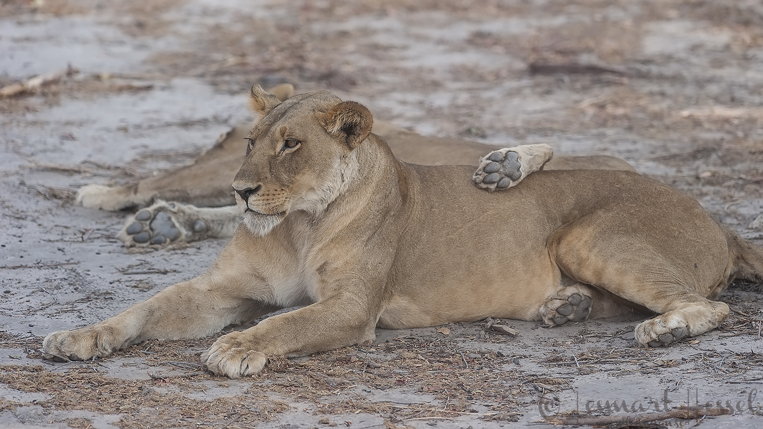 Tired Lionesses on the road from Savuti to Chobe river, Botswana