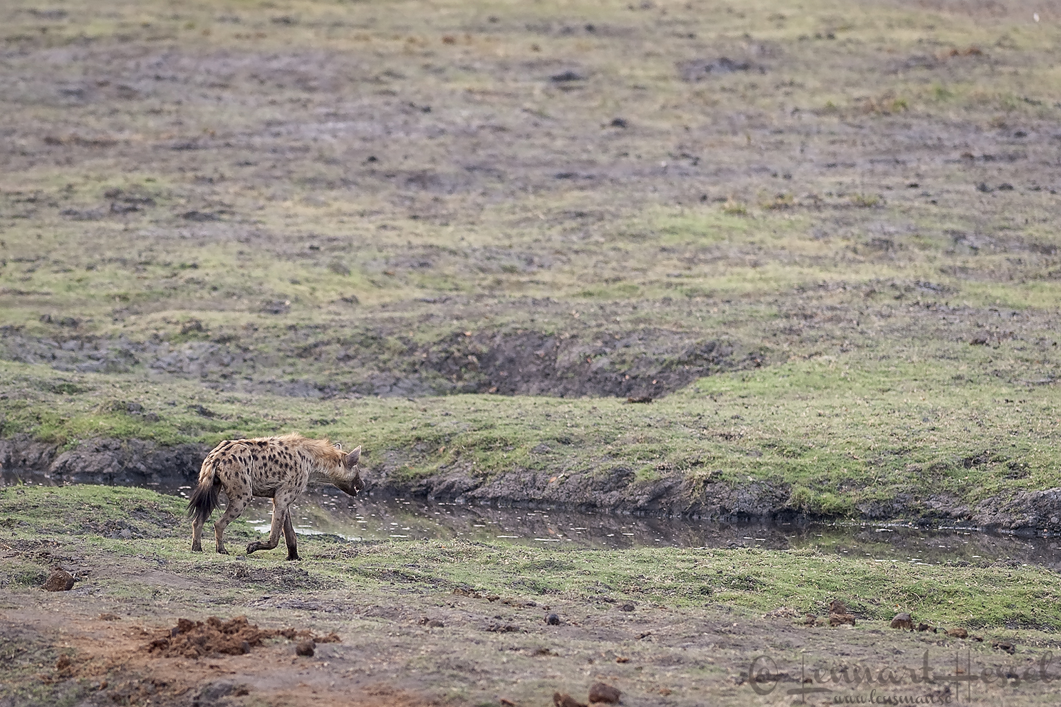 Spotted Hyena on the floodplain at the Chobe River front, Botswana
