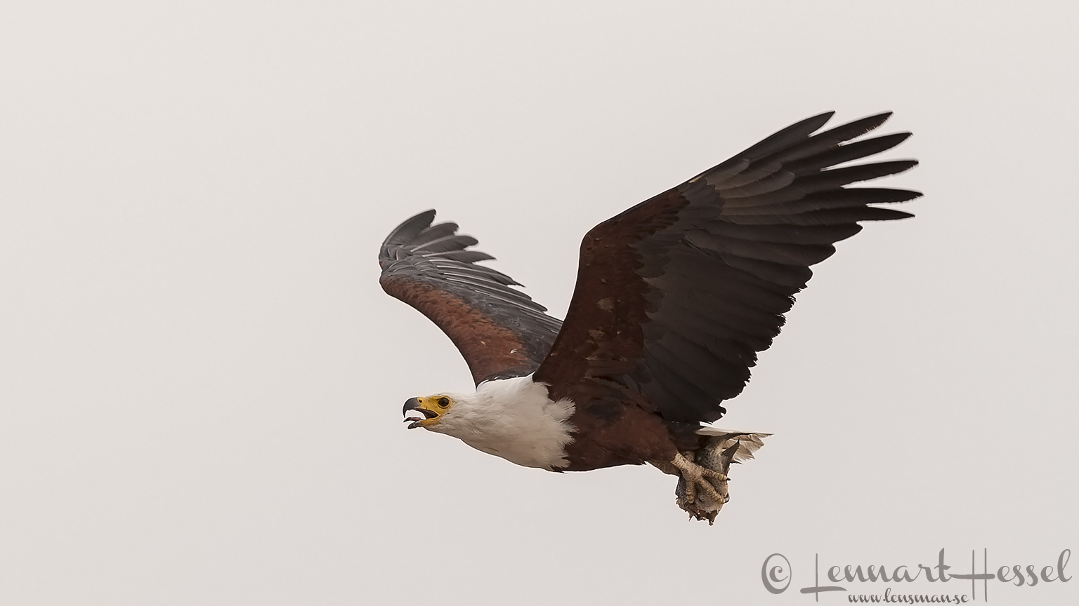 African Fish-Eagle with catch at Chobe River area, Botswana