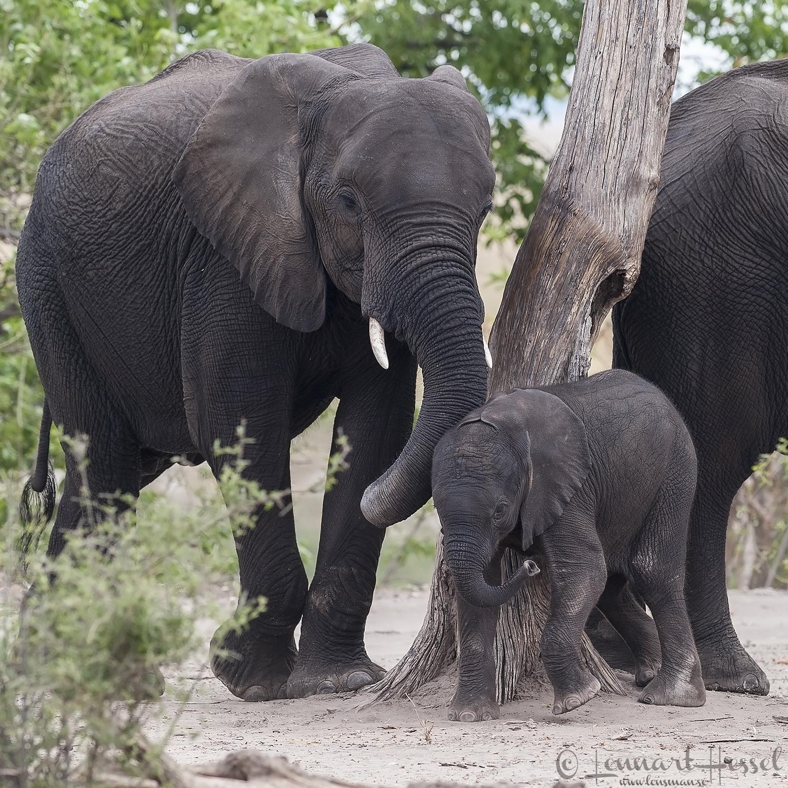 Elephants scratching in Chobe River area, Botswana