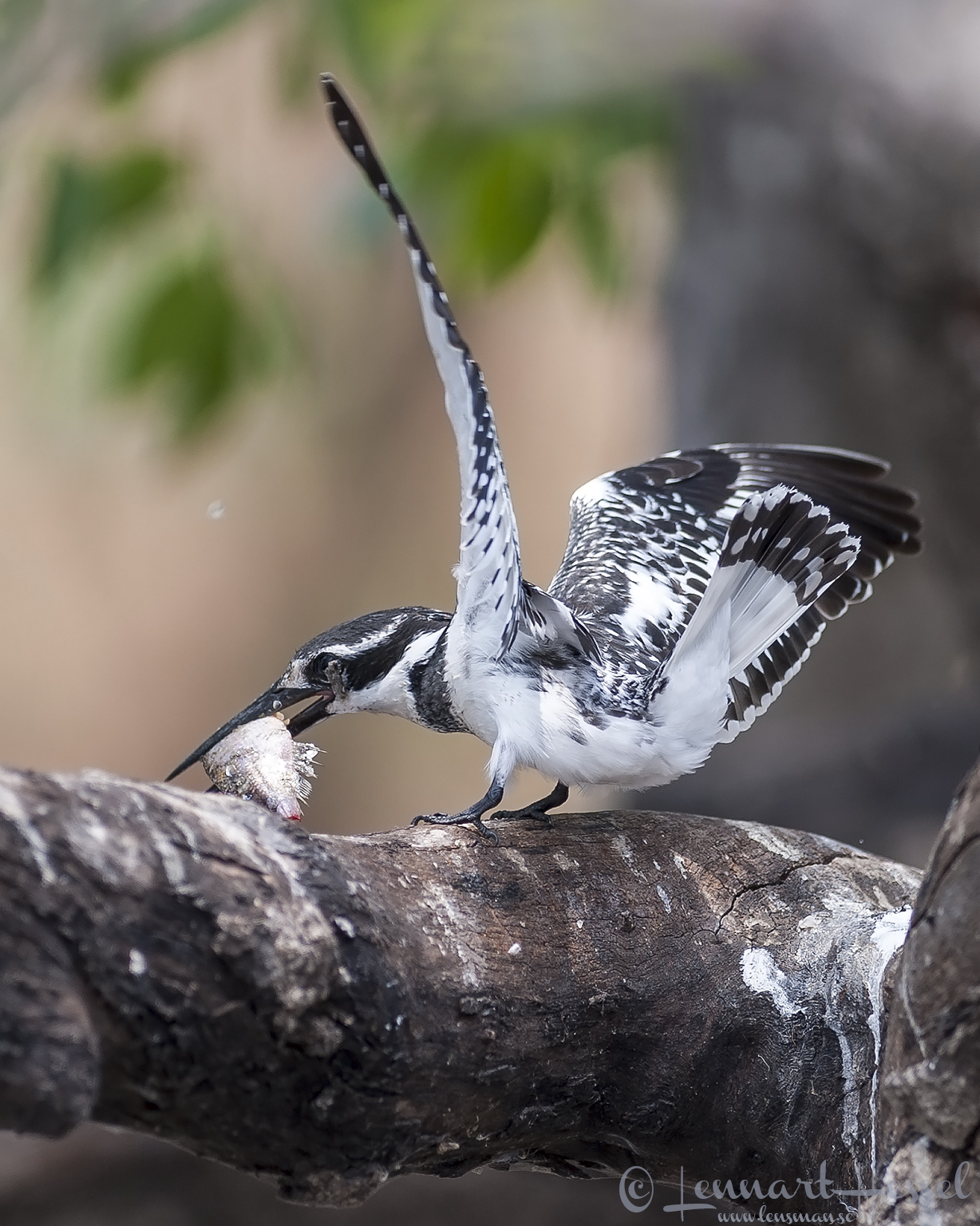Pied Kingfisher at Chobe River, Botswana