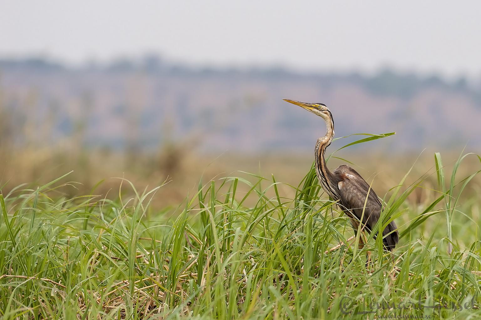 Purple Heron at Chobe River, Botswana