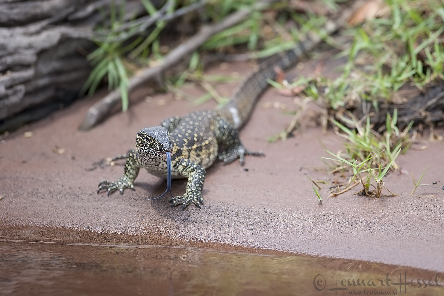 Water monitor at Chobe River, Botswana