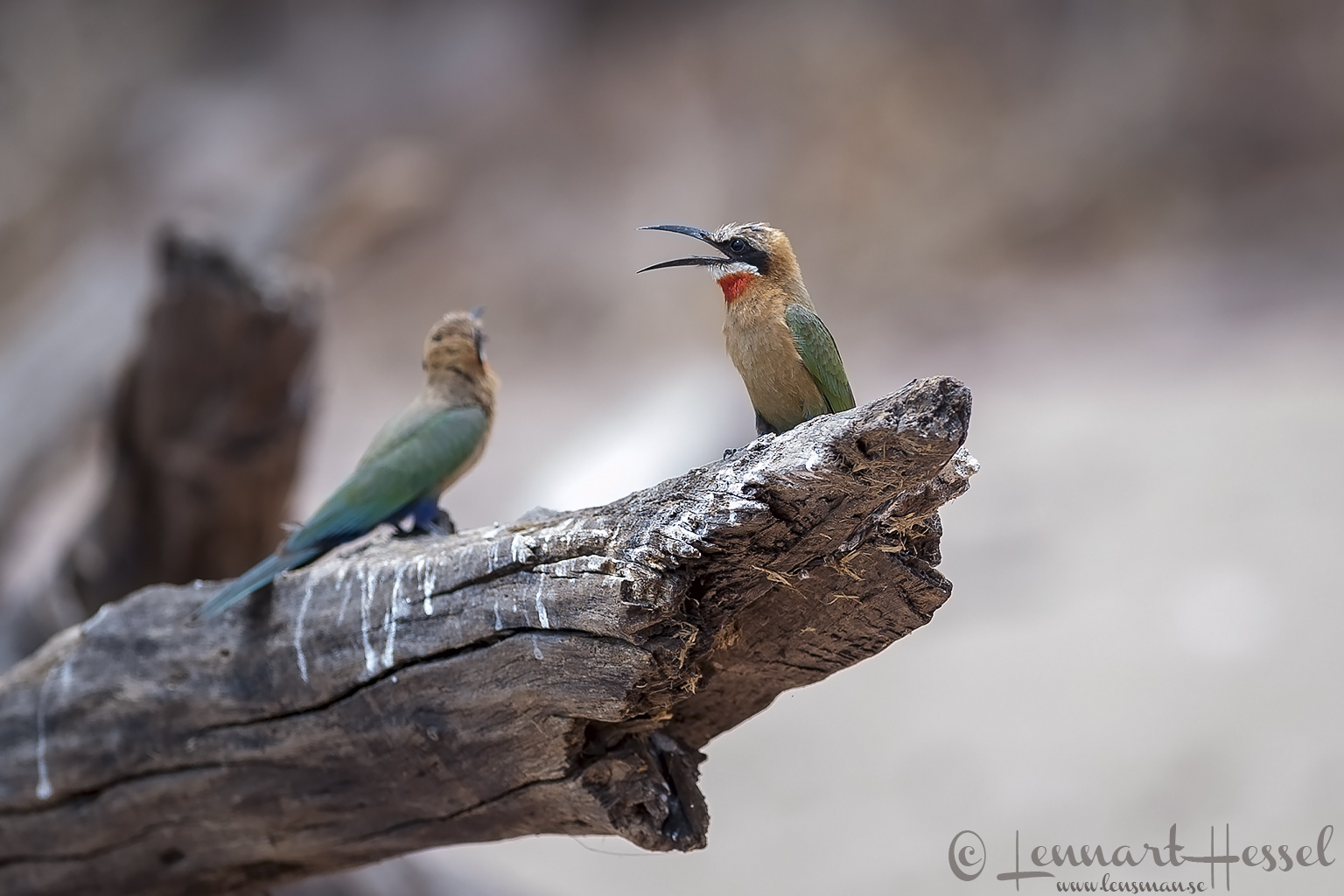 White-fronted Bee-eater at Chobe River, Botswana