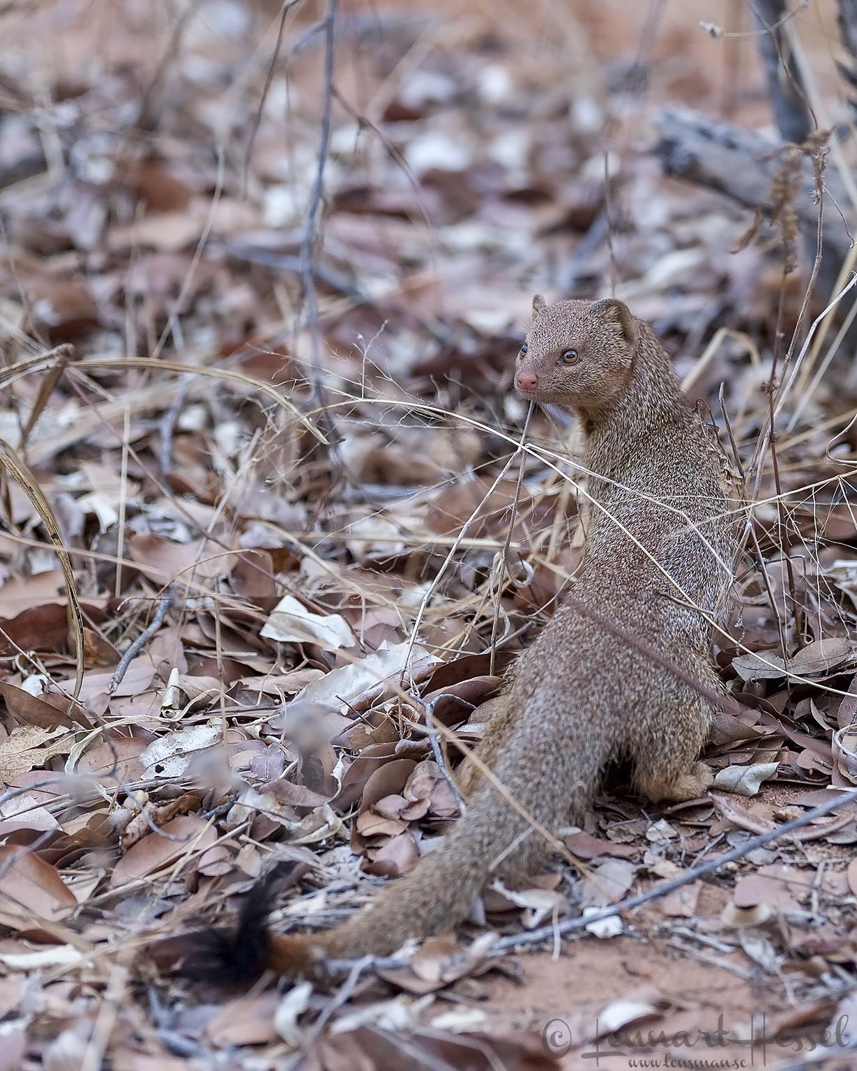 Yellow mongoose in Chobe River area, Botswana