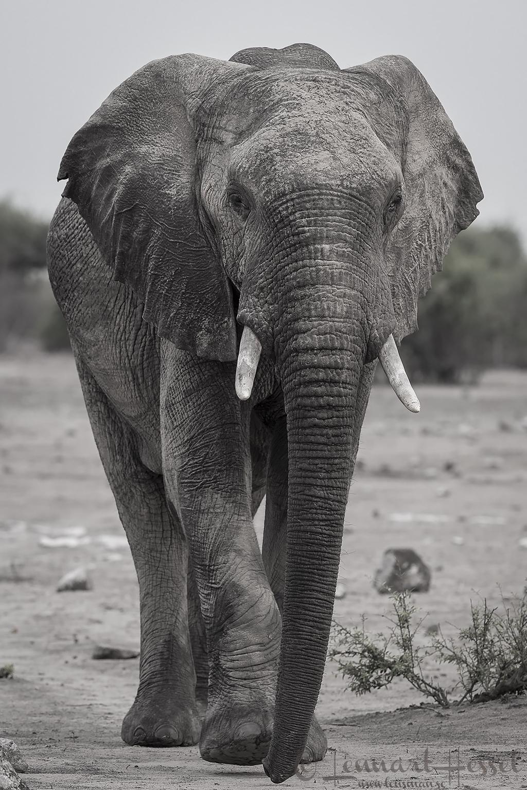 Elephant bull in Chobe River area, Botswana