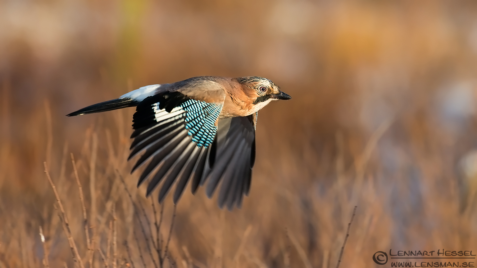 Eurasian Jay, photo from Kalvträsk. National Geographic wild bird