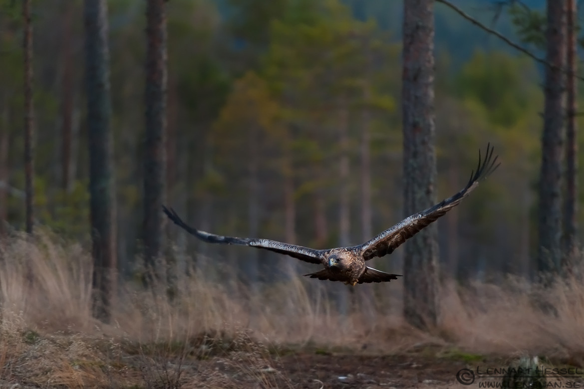 Golden Eagle in flight, photo of a golden eagle in Kalvträsk