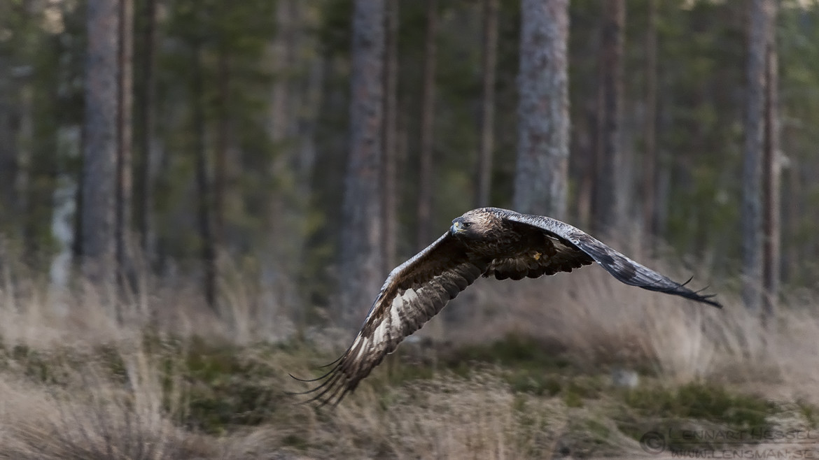 Golden Eagle flying, photo of a golden eagle in Kalvträsk