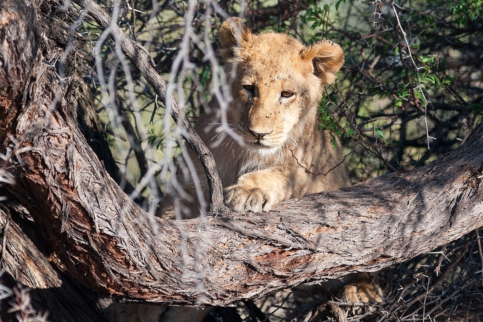Lion cub seen on safari in Botswana