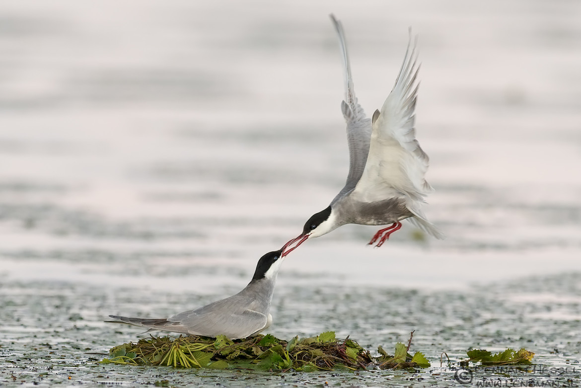 Whiskered Tern kiss National Geographic wild bird