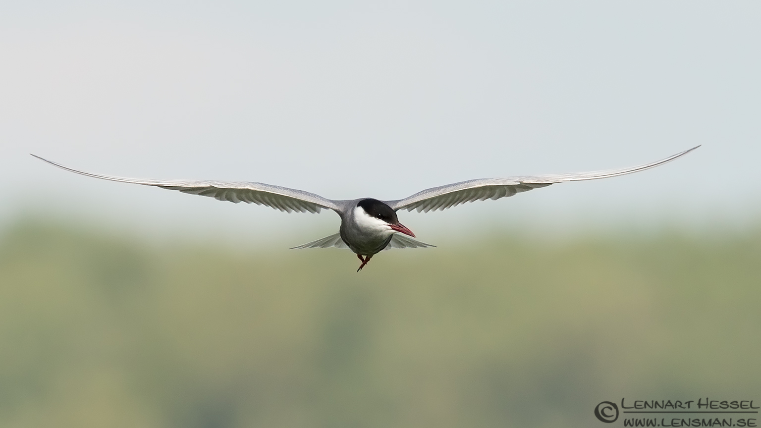 Whiskered Tern look