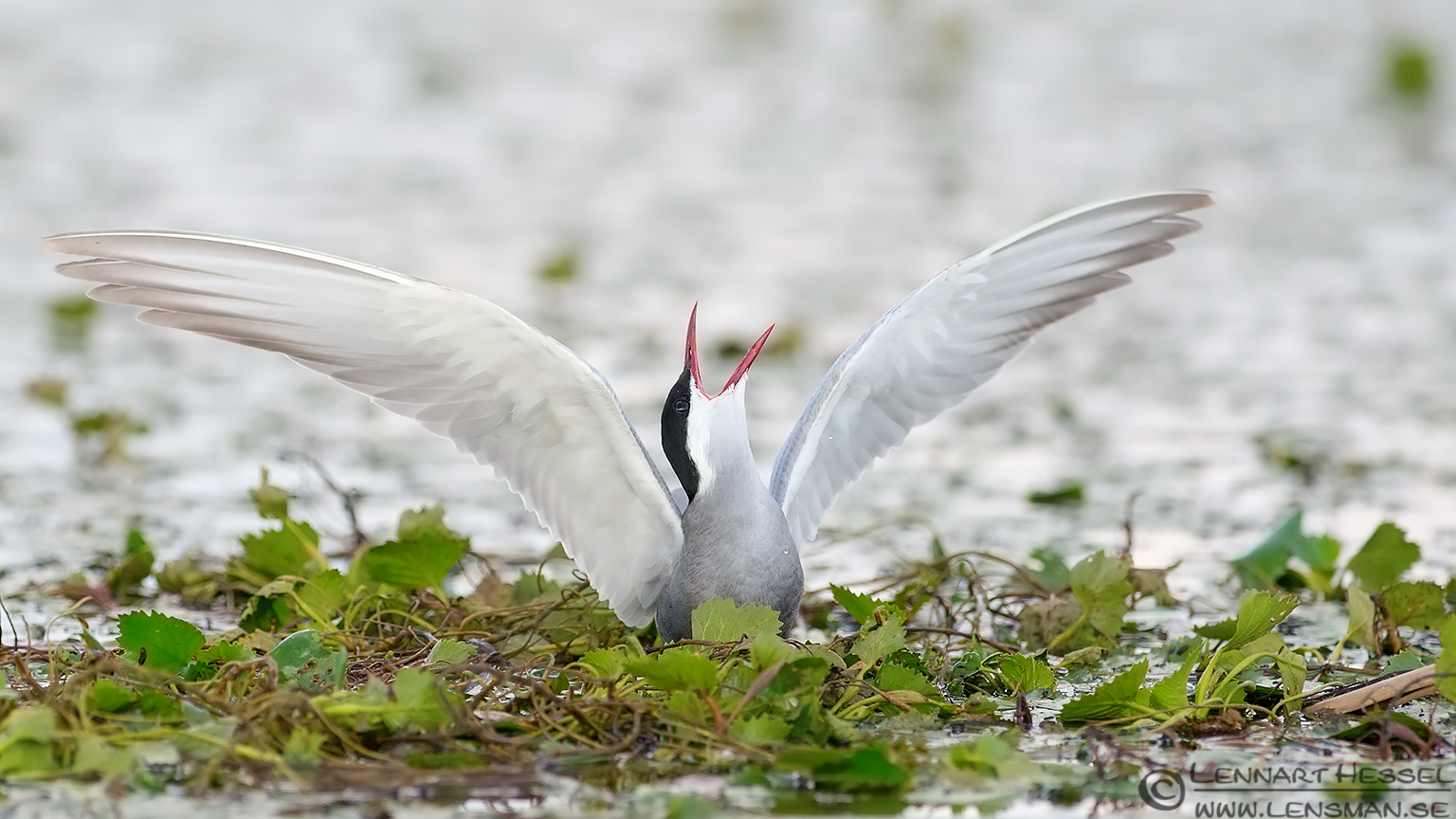Whiskered Tern scream