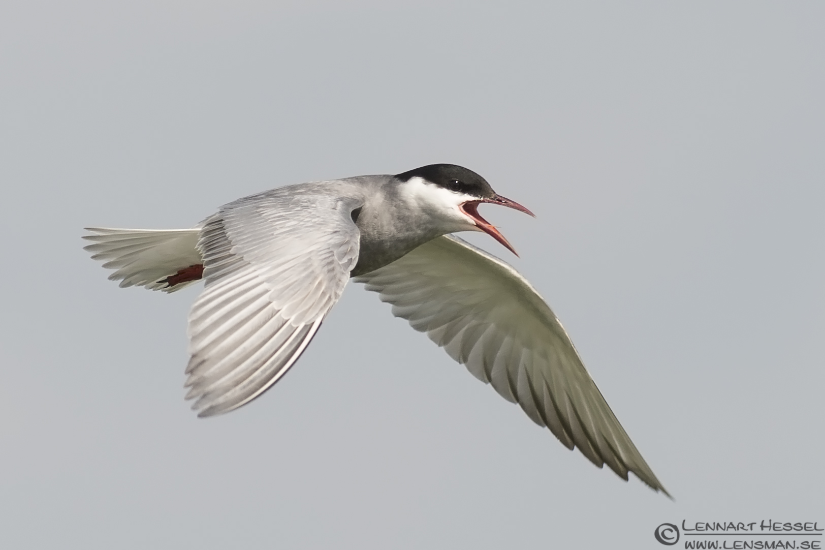 Whiskered Tern calling