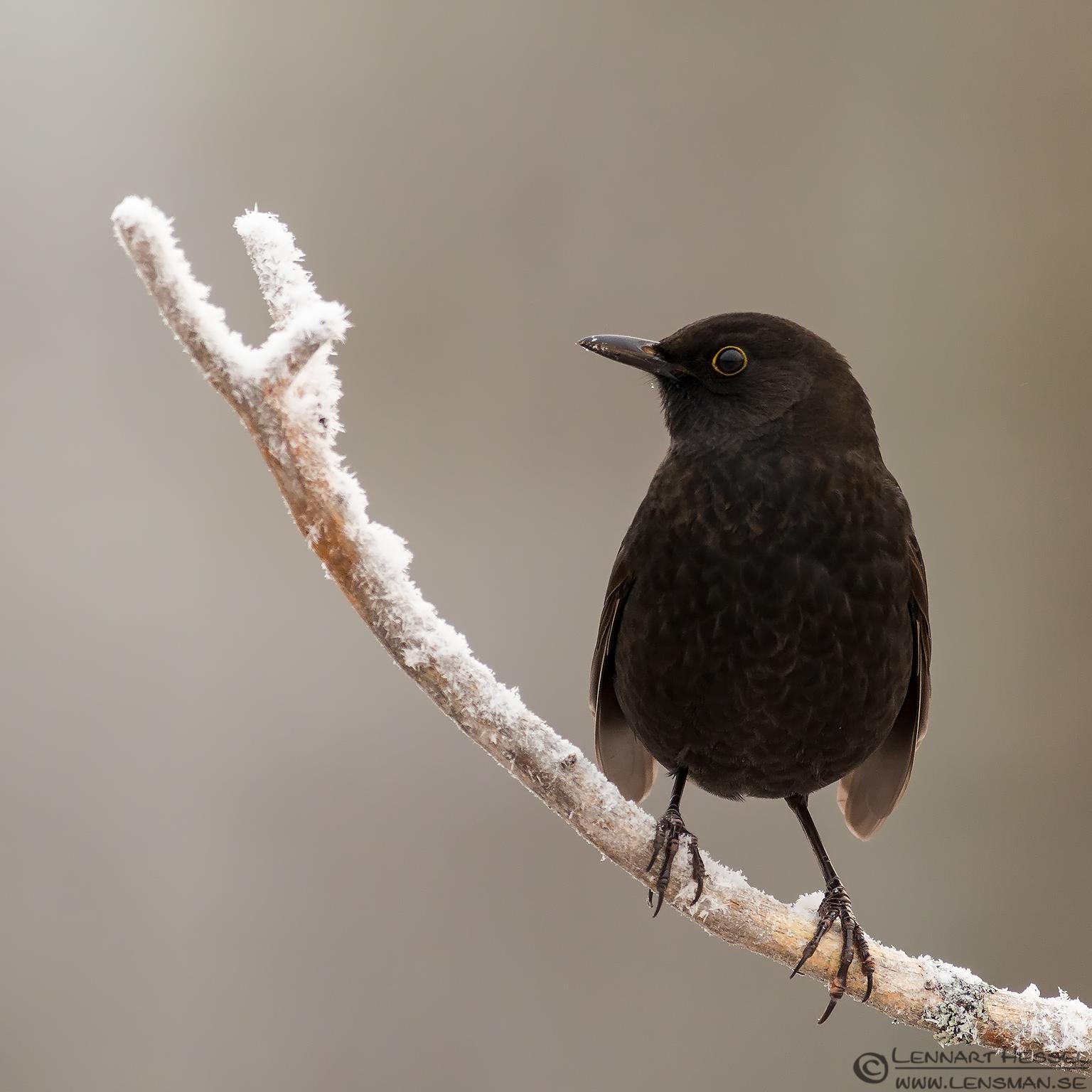 Blackbird from the Golden Eagle workshop