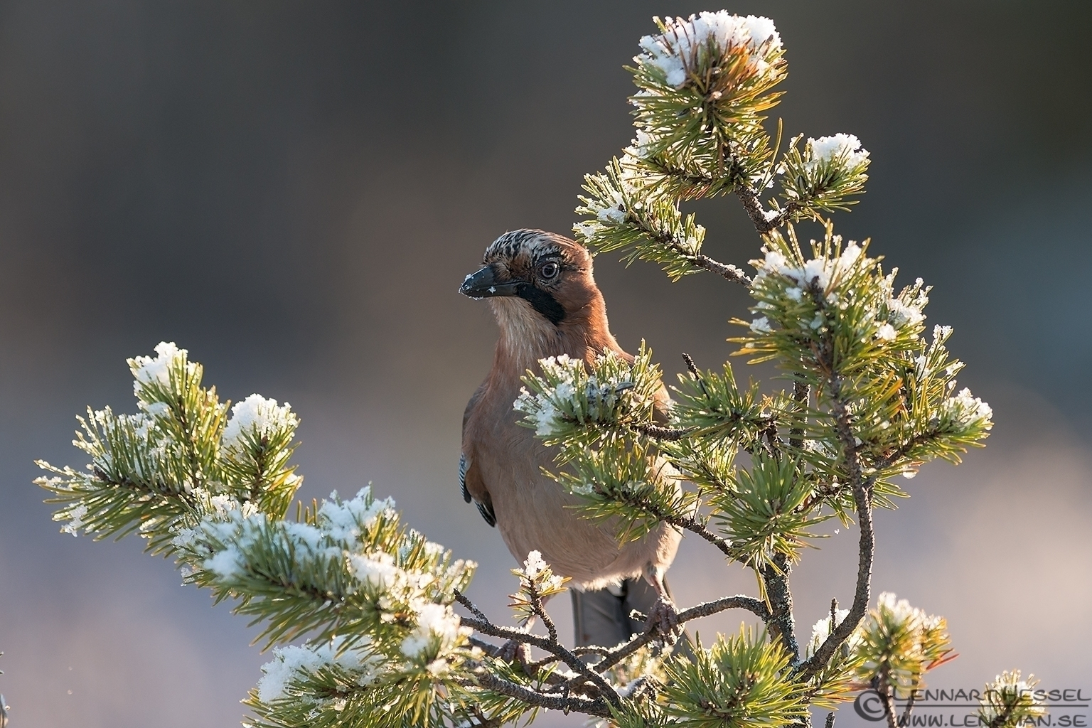 Eurasian Jay in a tree photo from Golden Eagle workshop