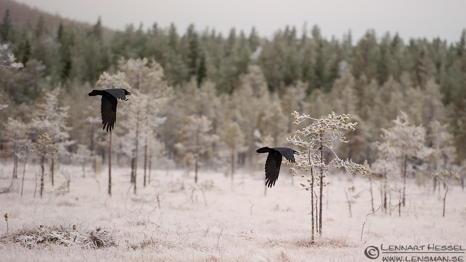 Ravens in flight from the Golden Eagle workshop