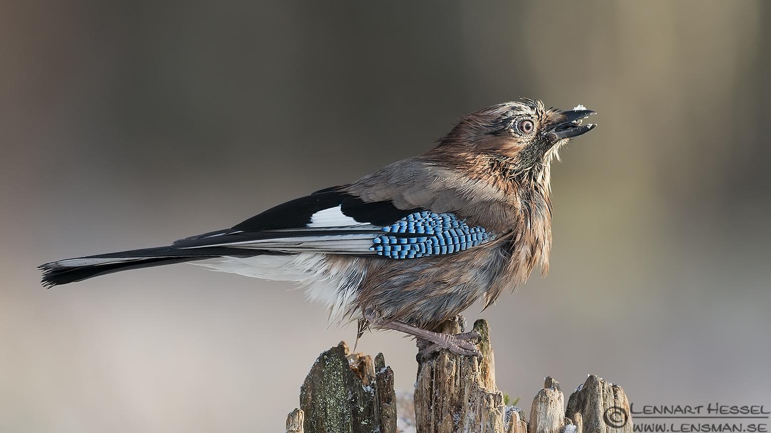 Eurasian Jay eating from the Golden Eagle workshop