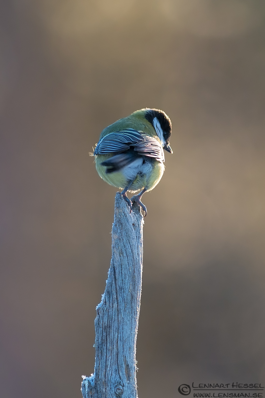 Great Tit from the Golden Eagle workshop