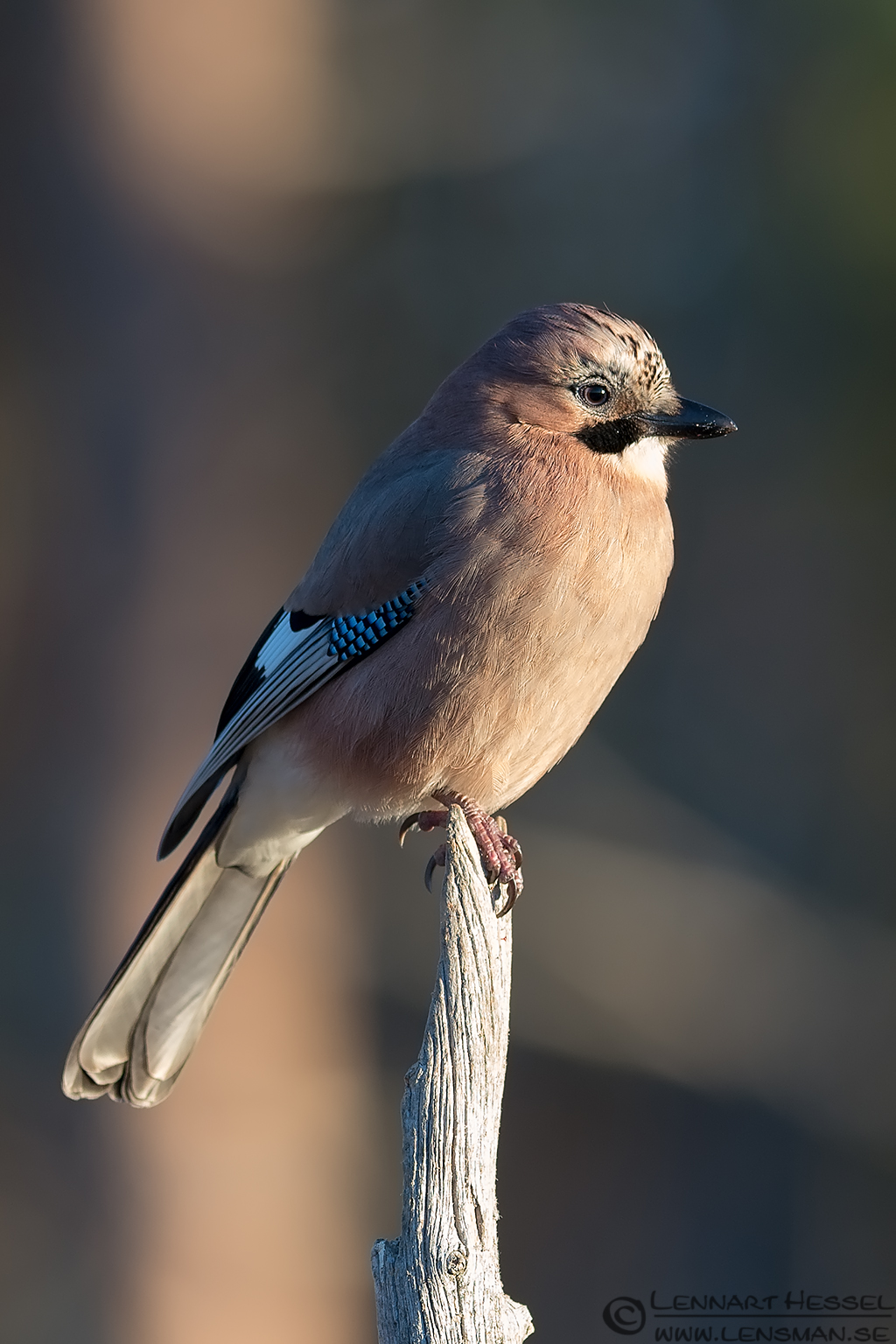 Eurasian Jay from the Golden Eagle workshop