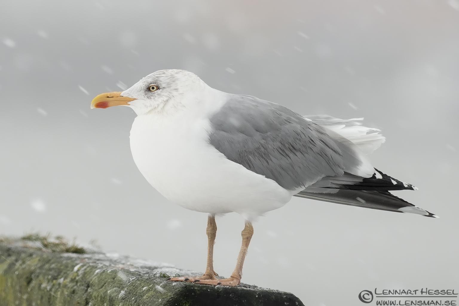 Adult European Herring Gull, winter photo from the Fish Harbor
